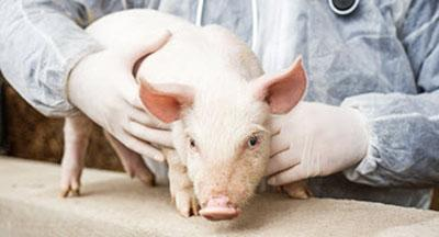 pig getting vaccine, image from Farms.com